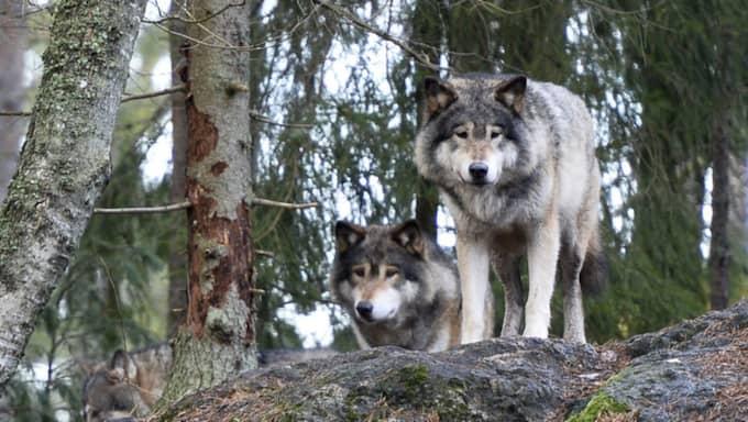 """""""Vargarna har varit rädda för personalen. Det är en farlig illusion att man ska dominera vargen. Det är helt, helt fel"""", säger den norska vargexperten i utredningen. På bilden syns vargar i varghägnet på Kolmårdens djurpark i januari 2016. Foto: Anders Wiklund/TT"""