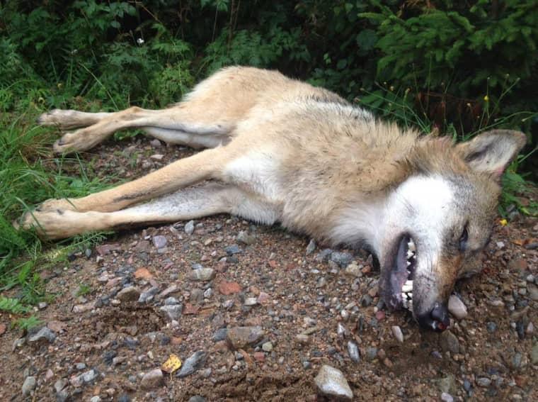 En varg sköts efter att ha attackerat en jakthund i Filipstad. Foto: LÄNSSTYRELSEN I VÄRMLAND