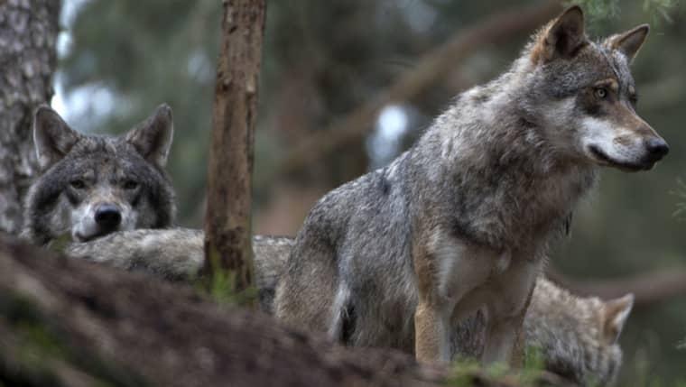Naturliga orsaker kan ha bidragit till minskningen av vargar jämfört med förra året. Nu finns 340 vargar kvar i Sverige. Foto: Roger Vikström