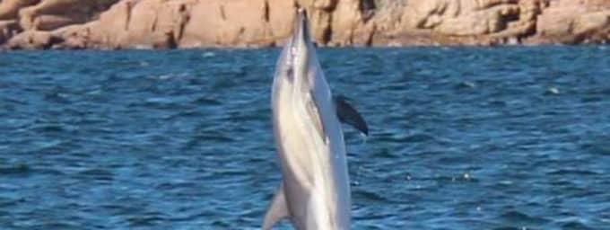 Delfinerna lekte - eller jagade - utanför Fjällbacka under två timmar på onsdagskvällen. Foto: Läsarbild