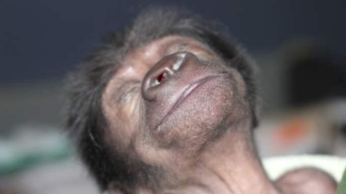 Gorillaungen, som ännu inte har ett namn, ser ut att vara en riktig livsnjutare Foto: Bristol Zoo / Swns.Com