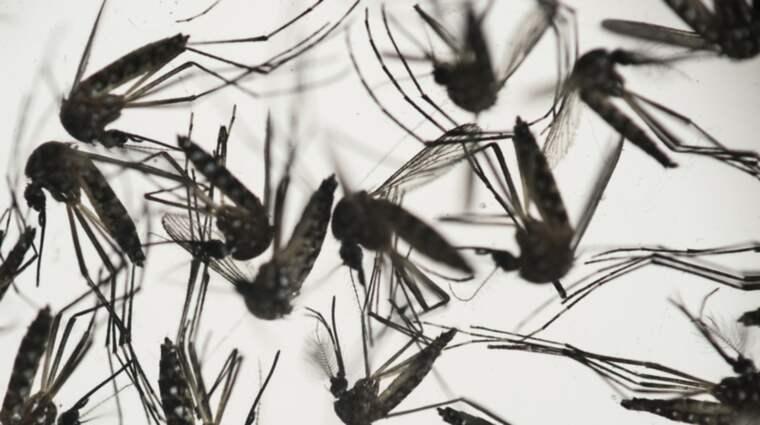 Det myggburna zikaviruset misstänks ligga bakom allvarliga födseldefekter hos barn. Foto: Felipe Dana
