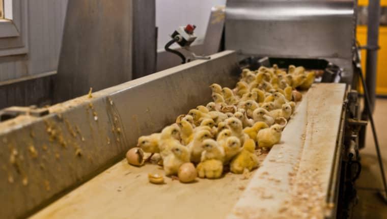 Helt hjälplösa, nyfödda kycklingar slängs på löpande band. Foto: Animal Equality