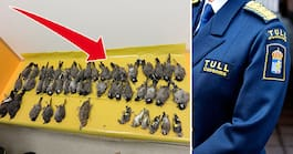 Försökte smuggla in 49 fåglar – i skolådor title=