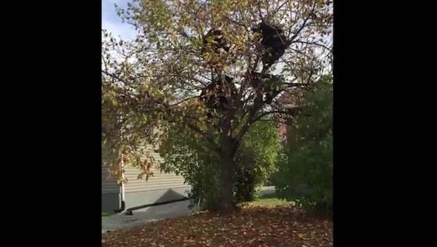 När hela grannens äppelträd skakar