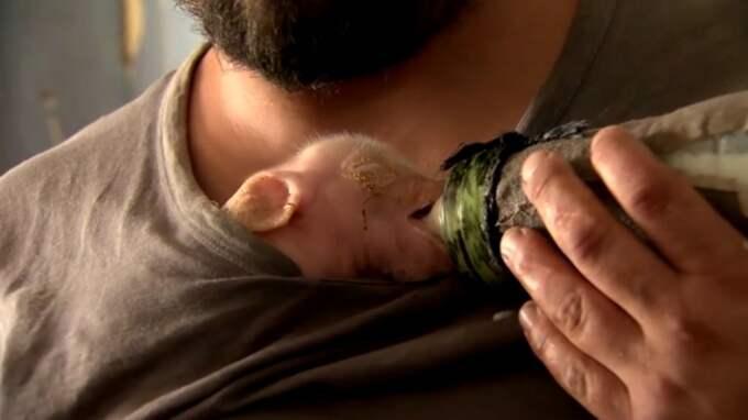 När lugnet lagt sig tog farmarna in de svagaste griskultingarna i stugan för att mata dem med komjölk.