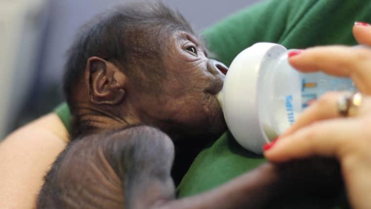 Gorillaungen föddes med hjälp av kejsarsnitt i Storbritannien Foto: Bristol Zoo / Handout / Epa / Tt