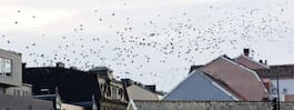 Kajornas invasion av Karlskrona fortsätter