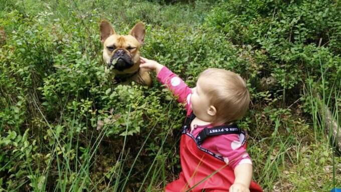 Den franska bulldogen har varit borta i snart en vecka. Foto: Privat