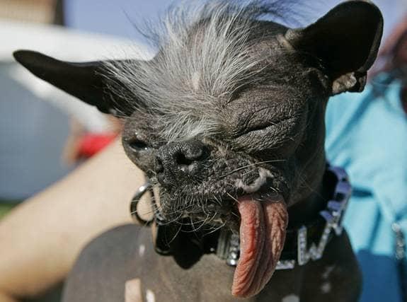 Hunden Elwood var med och kämpade om första platsen i tävlingen Världens fulaste hund i Petaluma, USA. Foto: AP