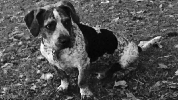 Jägare sköt cancersjuka flickans terapihund med pilbåge