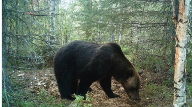 Här äter björnen av det som mannen lagt ut i skogen för att locka till sig djuren. Foto: Polisens förundersökning