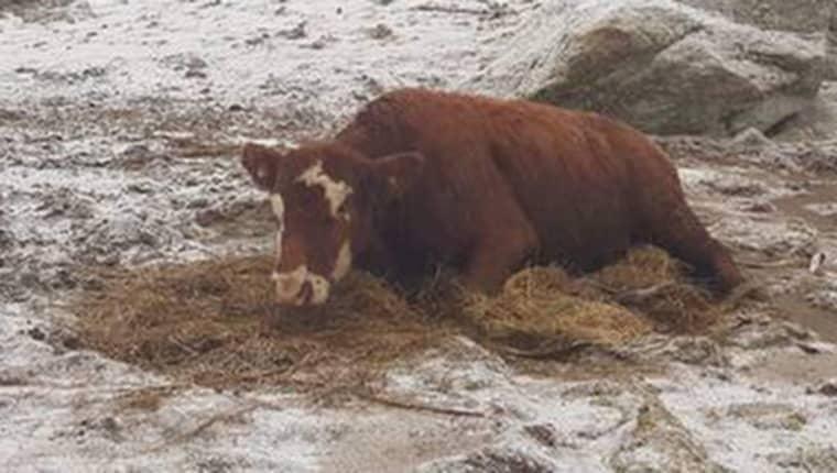 På fredagsmorgonen hittade bonden två av sina kor liggande på isen i en hage. Foto: Privat