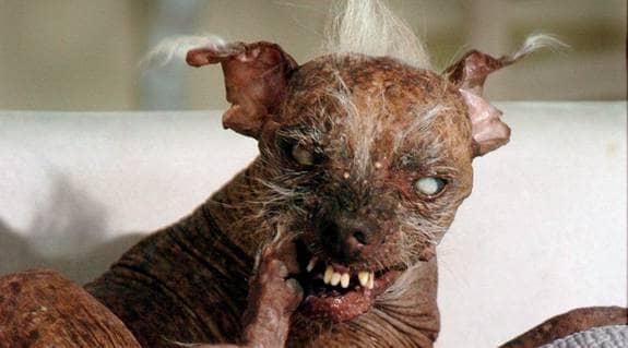 Kommer du ihåg Sam? Han tog hem tävlingen Världens fulaste hund flera år i rad. Foto: AP