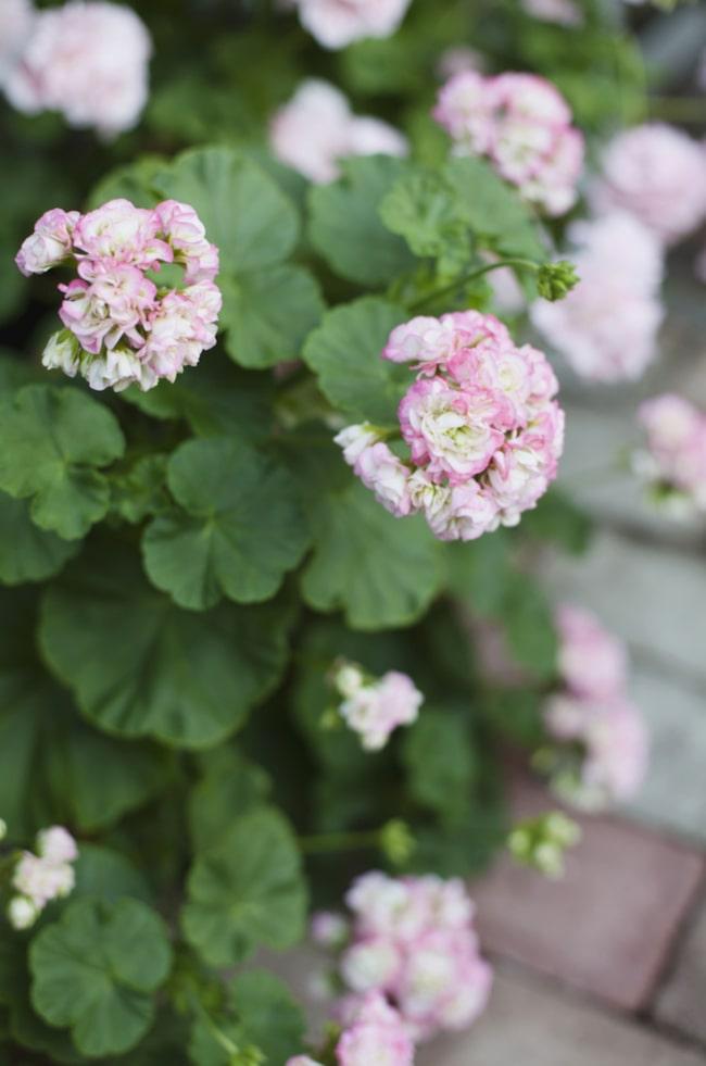 Som rosor. Rosenknopps-  pelargonen 'Appleblossom' är en gammal sort som är mycket dekorativ med sina vita rosformade blommor.