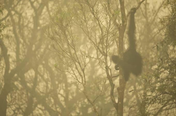 1:a pris i sin serie om orangutanger i Indonesien. Foto: Tim Laman