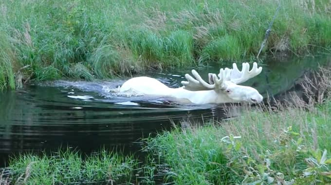 Den världsberömda vita älgen i värmländska Gunnarskog ska skjutas – Polisen har fattat beslut om skyddsjakt. Foto: HANS NILSSON