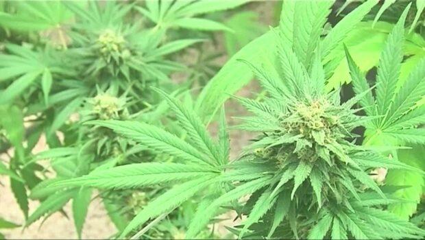 Kanada - här är cannabis tillåtet
