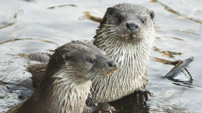 Två av uttrarna vid Naturum i Kristianstad. Foto: Jens Christian