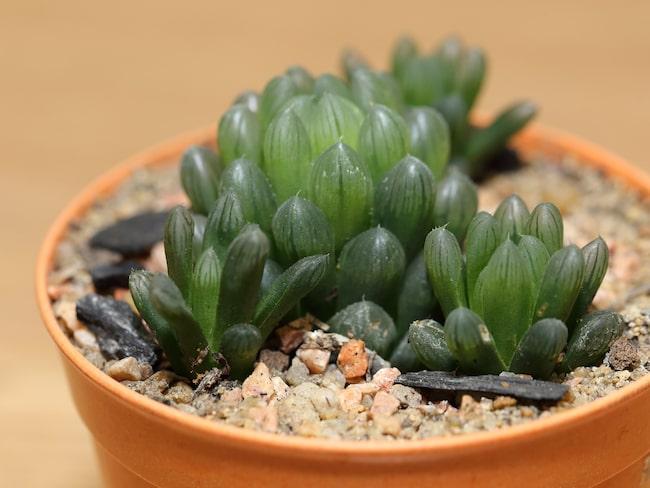 Det kan vid en första anblick se ut som små bubblor eller krusbär har fastnat på växten, men det är just detta som är växten. Haworthia cooperi ingår i släktet Haworthia och familjen grästrädsväxter.