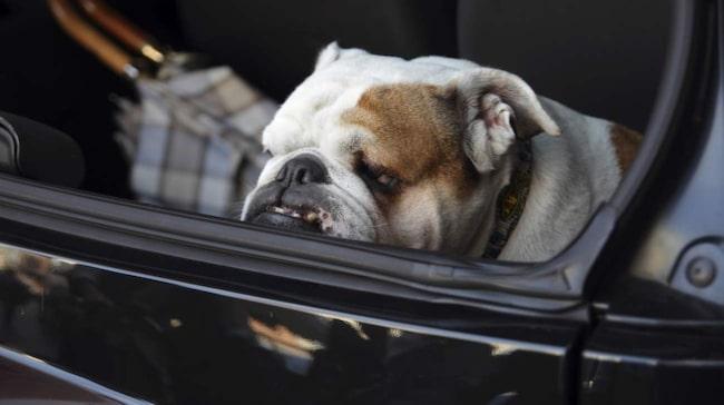 Så snabbt blir hunden överhettad i bilen | Allt om bilar