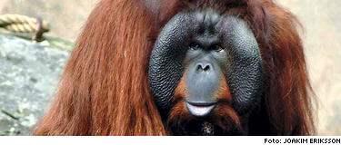 Orangutanghannen Baku attackerade djurskötaren.