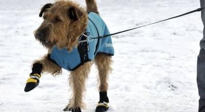 TASS MED KLASS Den irländska terriern Mackie, 12, visar stolt upp sina fina skor som han använder för att slippa isklumpar mellan trampdynorna. Foto: Christer Wahlgren