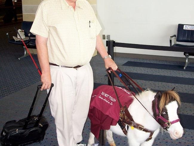En terapihäst på flygplatsen i Cincinnati.