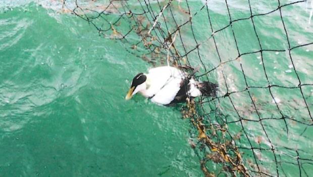 Fåglarna drunknar och svälter ihjäl i naturreservatet