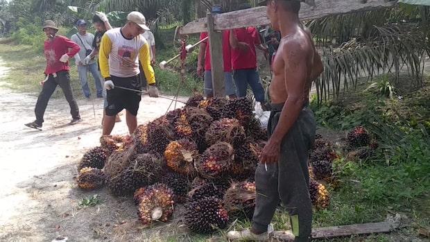 Naturreservat i regnskogen skövlas – för illegal palmolja
