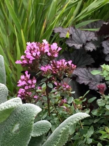 Den är väldoftande, långlivad och en favorit hos pollinerande insekter.