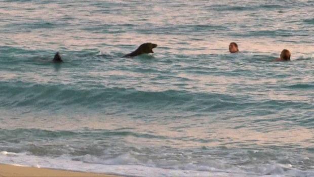 Arg munksäl skäller på simmare som kommer för nära ungen