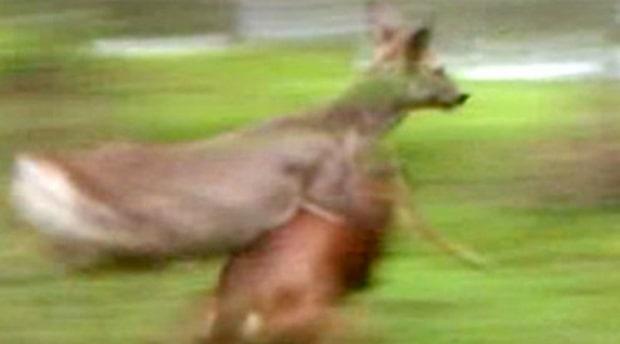 Ombytta roller - rådjur jagar hund