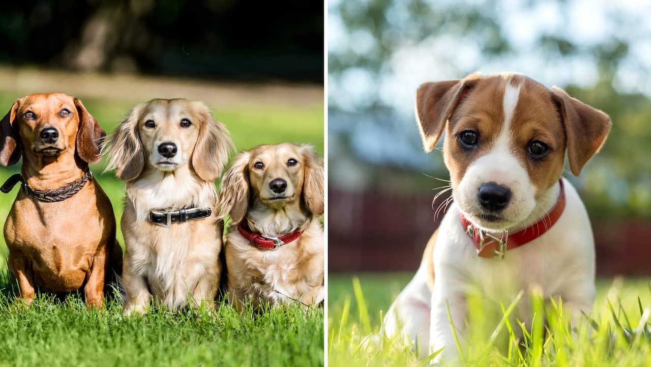 Kopa Liten Hund Har Ar De 10 Popularaste Raserna