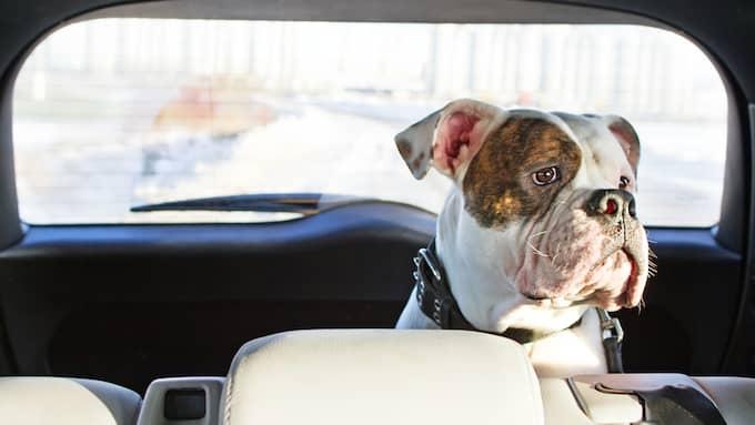 Bilen kan bli en dödsfälla för din hund. Foto: Shutterstock