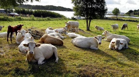 Köttproduktionen är ett gissel. Foto: TOMMY HOLL