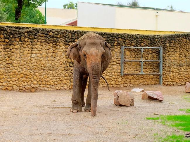 Elefanten Flavia kom till djurparken i Cordoba, Spanien, när hon var tre år.