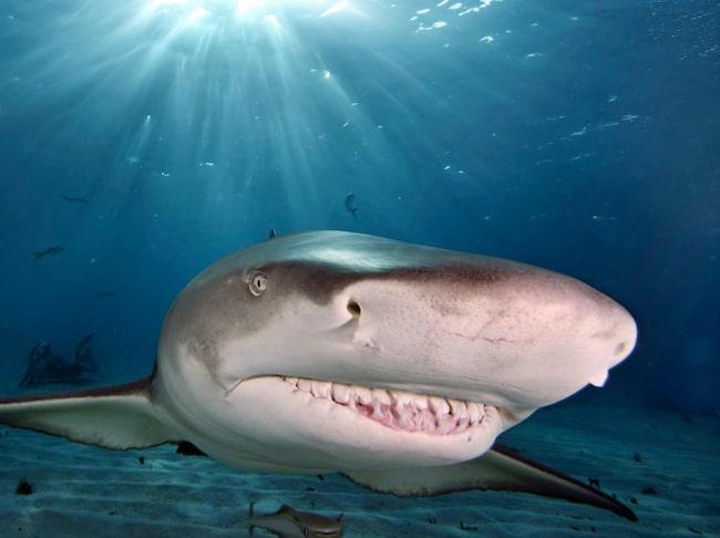Få saker gör äventyrare med sug efter adrenalinkickar lyckligare än att simma med hajar.