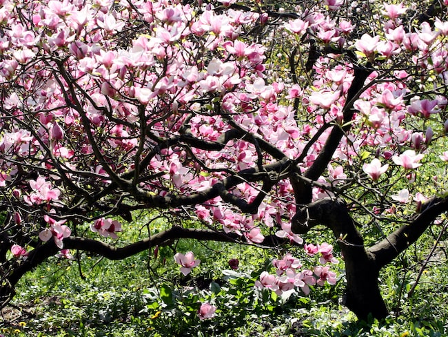 När magnolian blommar vet vi att våren är här. Den sprider lycka!
