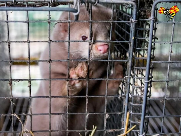 Fel att döda minkar – regeringen i Danmark ber nu om ursäkt