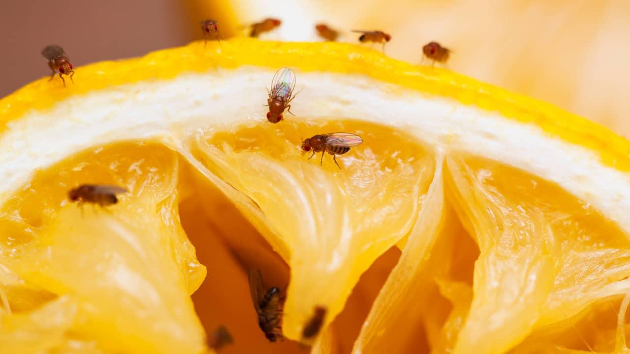 bli av med bananflugor