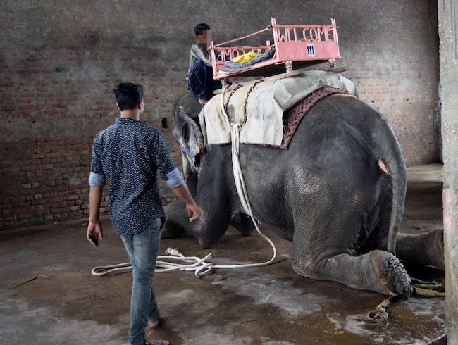 World Animal Protection varnar svenskar för att elefanter bryts ner mentalt och fysiskts för att tämjas.