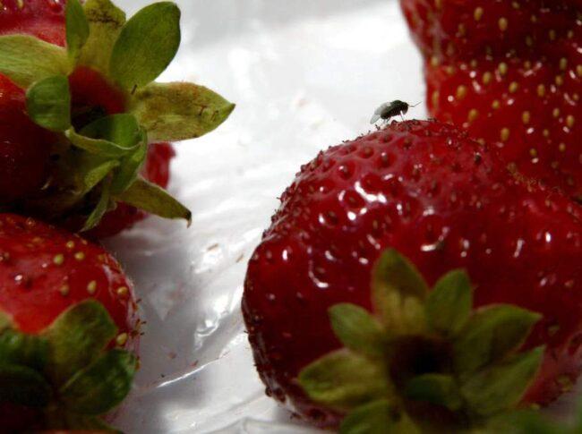 Lägg helst frukten i kylen. Om du vill ha ett fruktfat framme så se till att frukten är färsk och oskadad, så att flugan och dess larver inte hittar någon föda.