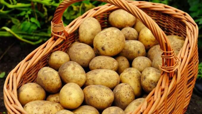 En potentiell hälsofara? I alla fall om den tillagas fel, hävdar forskarna, som varnar för att alltför upphettad potatis kan ge cancer. Foto: Christian Örnberg