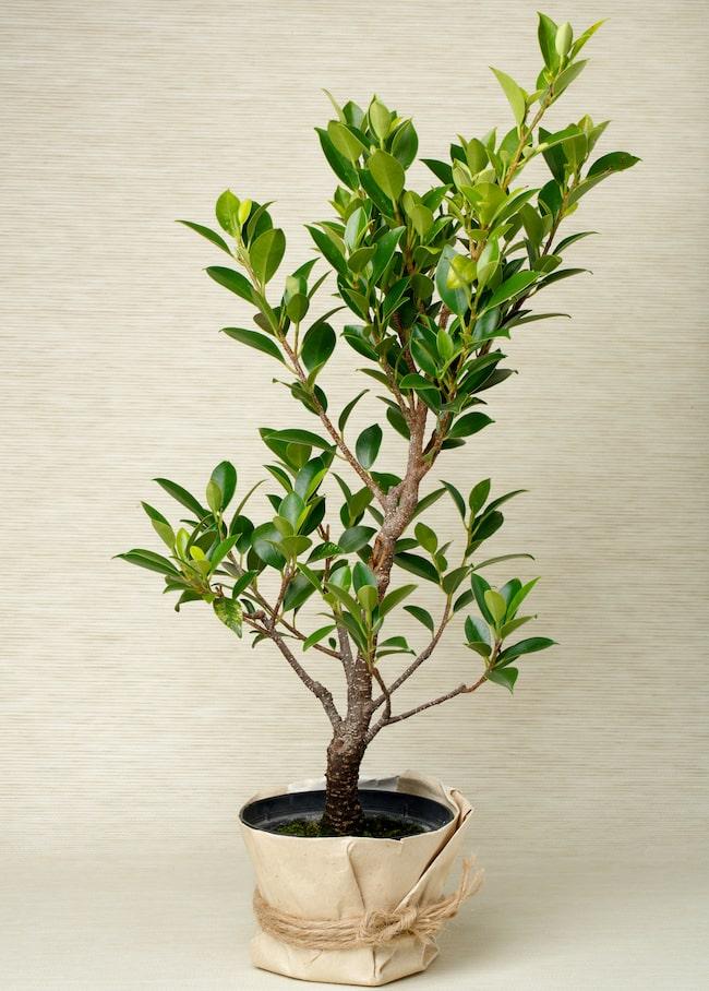 Även fikus räknas som bonsaiträd om den växer i en kruka eller fat.