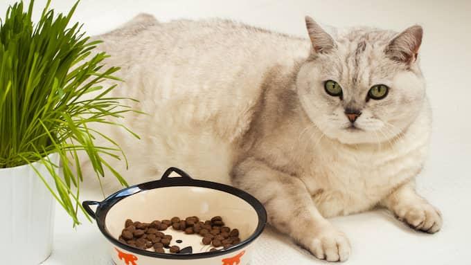 Tjocka katter blir loja och kan drabbas av flera allvarliga sjukdomar. Foto: Shutterstock