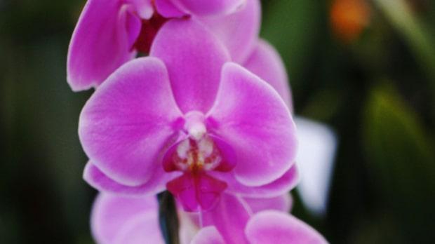 Orkidéer som inte blommar? Kasta inte
