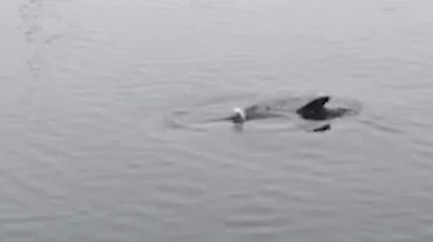 Märkliga upptäckten i Landskrona - ensam delfin simmar runt
