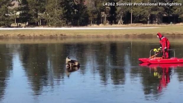 Hjort på hal is - räddades av brandman