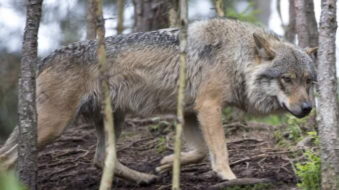 Just nu pågår jakt på den svenska vargen. Hittills har man fällt 20 av tillåtna 36 djur. Foto: Roger Vikström